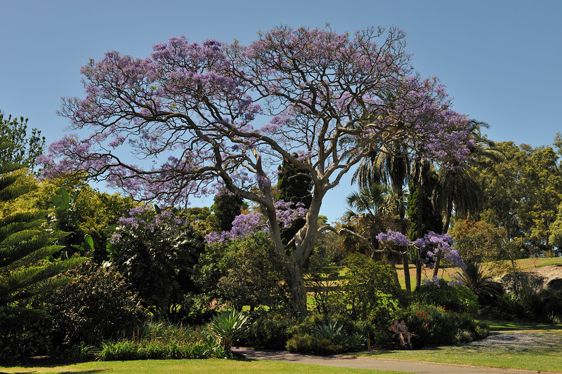 Jacaranda mimosifolia<br /> Sub-tropical tree native to South America.<br /> Royal Botanic Gardens, Sydney, Australia.