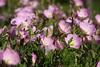 1876 - Wild Flowers Geranium