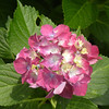 'Alpengluhen' - Big Leaf Hydrangea (Hortensia); Binomial name- Hydrangea macrophylla;  is species of Hydrangea native to Japan.; Genus- Hydrangea; Family- Hydrangeaceae