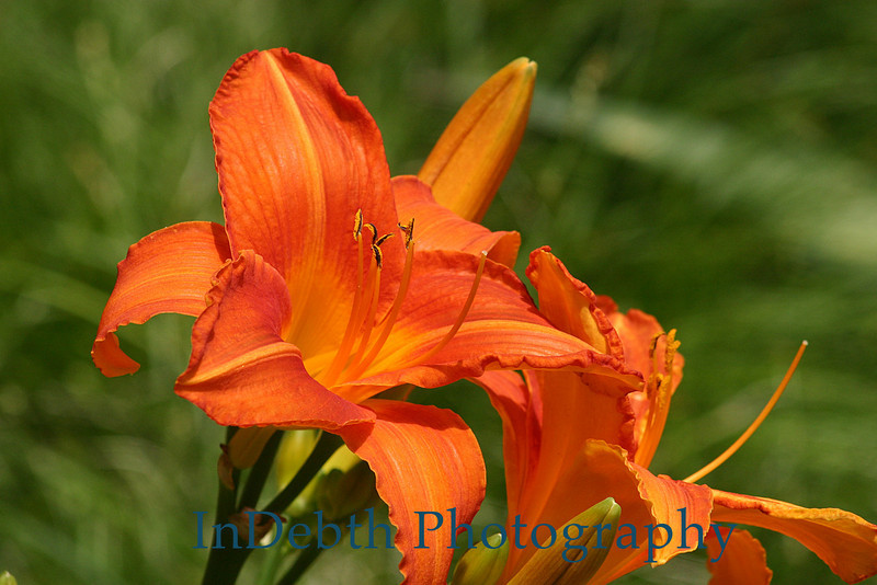 1408 - Day Lily Flowers