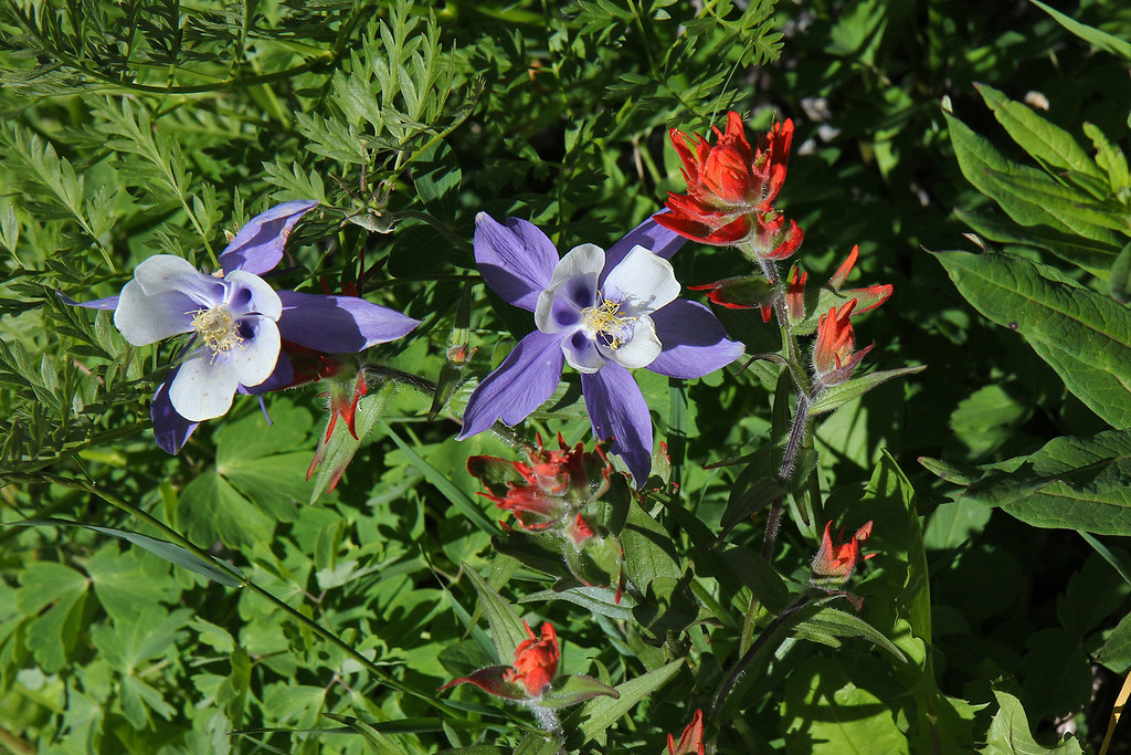 Wildflowers, near Yankee Boy Basin,<br /> Ouray, CO.<br /> Copyright 2011, Tom Farmer