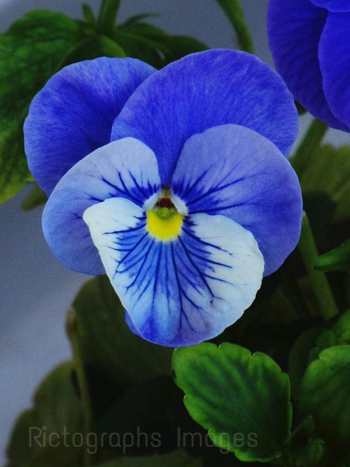 Blue Viola, Ric Evoy, Rictographs Images