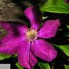 Purple clematis - 112