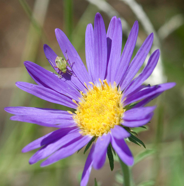 I saw this flower at a picnic area in Texas between Hobbs, New Mexico and Snyder,  Notice the small green bug.