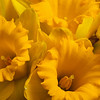 Close-up of a group of yellow daffodils