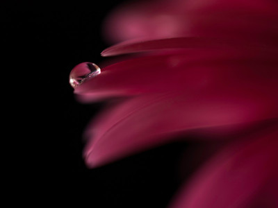 drop on a Red Gerbera