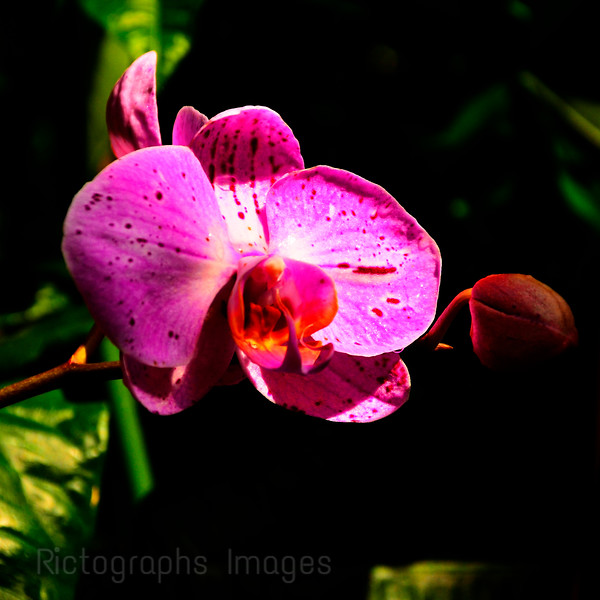 Pink Orchid,