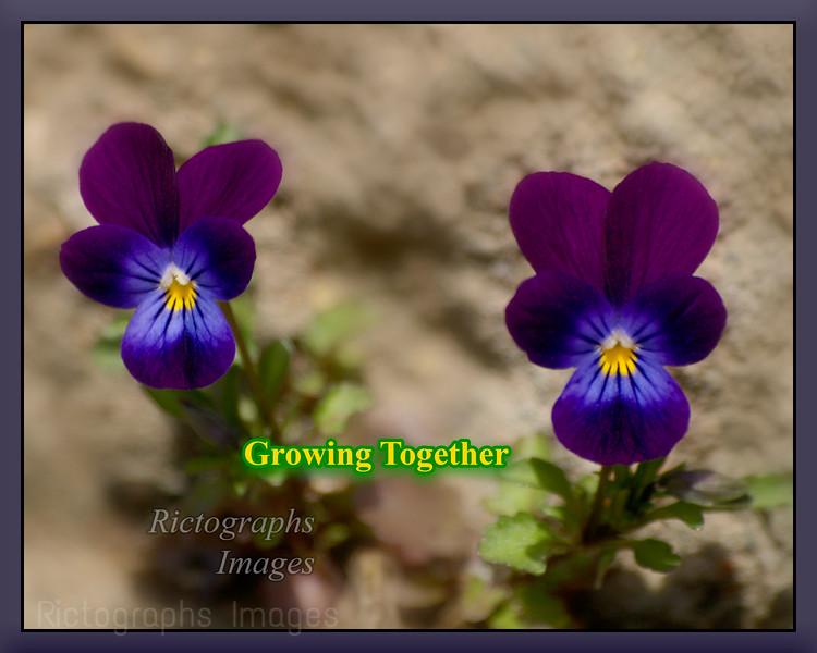 Growing Pansies