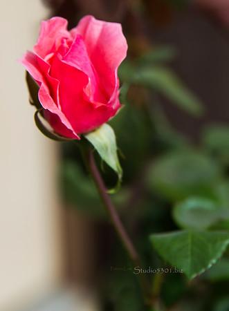 Pink rose bud 8035
