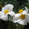 Matilija Poppies - Wildflower - Orange County, CA