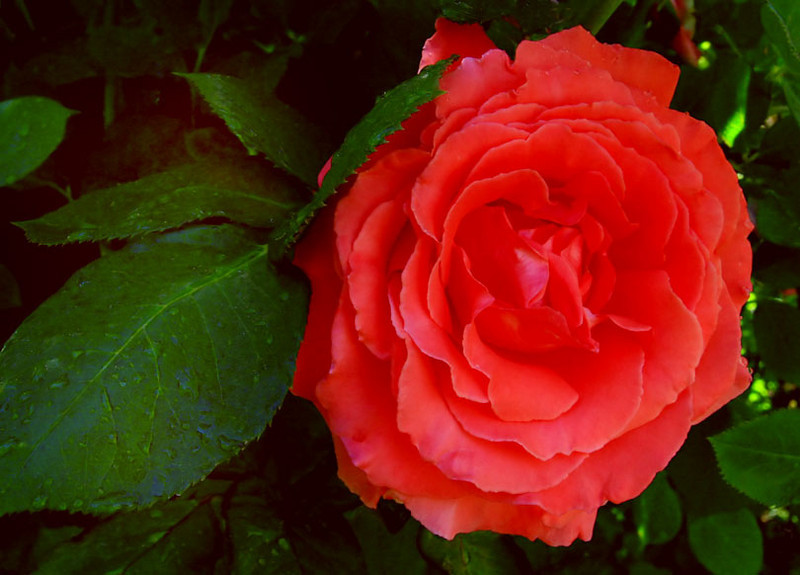 Rose2_Web_3938