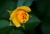 rose-107
