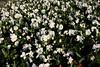 CRay-Flowers-9932