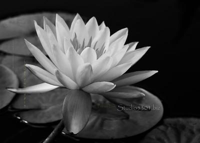 Lotus lily pad B&W 7073cf  BC