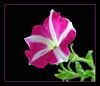 PetunialtbrgtIMG_4380w (34532219)