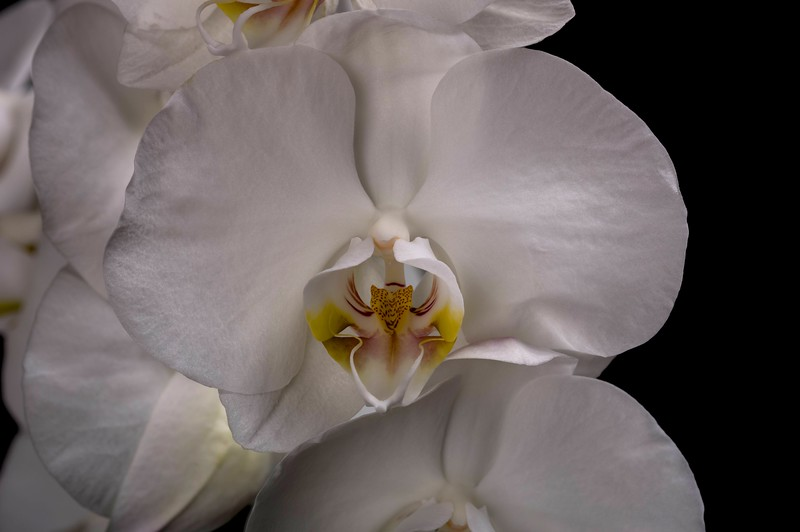 White Moon Orchid