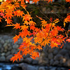 Momiji at Izu