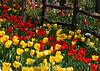 1601 - Tulips
