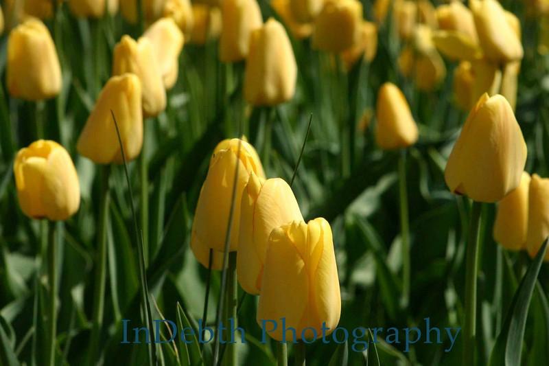 1537 - Tulips