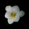 "<font color=""#e9efb7"">White Freesia"