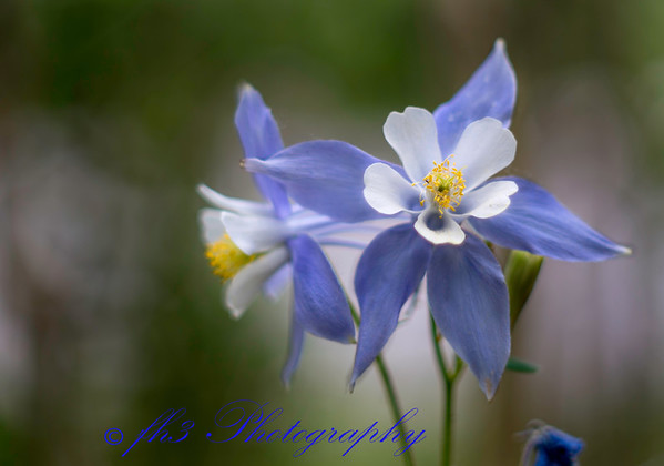 I used an old manual focus Minolta 50 mm f1.4 lens on these columbine. It was just a tad breezy.