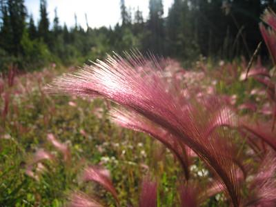 Foxtail Barley - Hordeum jubatum