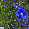 Blue flowers - 126