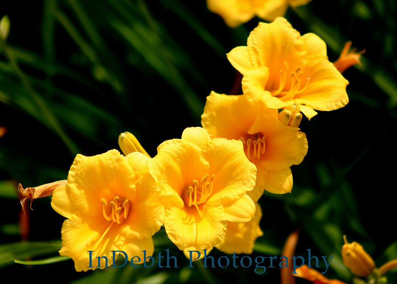 2823 - Day Lily Flowers