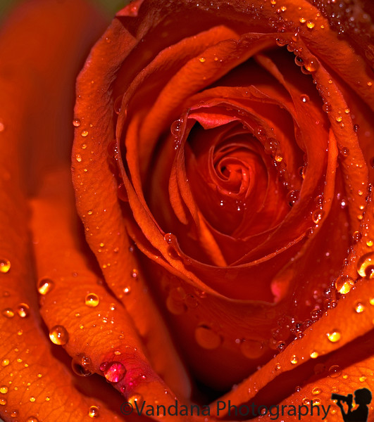 April 9, 2008 - Rose drops<br /> <br /> it's become quite cold, rainy weather around here..where is the spring ?!