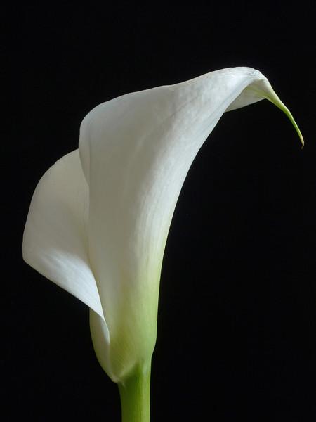 """<font color=""""#e9efb7"""">White Calla Lily"""