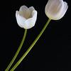 Tulips Twin