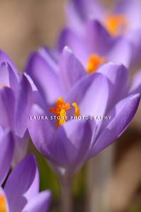 Purple crocus (Crocus Vernus) pushing their way up to the early spring sun