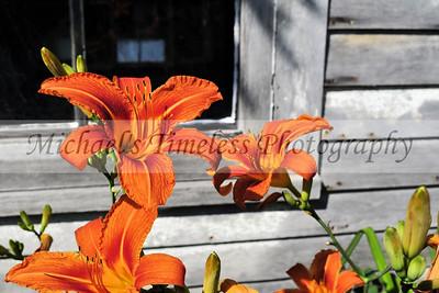 Tiger Lillies - 4 x 6