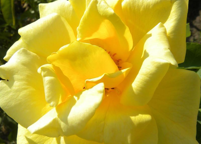 "Rose - ""Midas Touch"" Hybrid Tea"