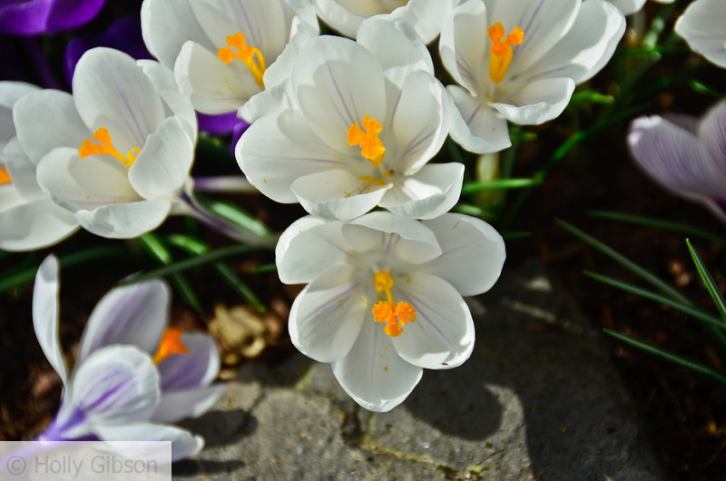 Spring crocuses - 141