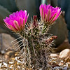 Hedgehog Cactus in Bloom, 5/14/08