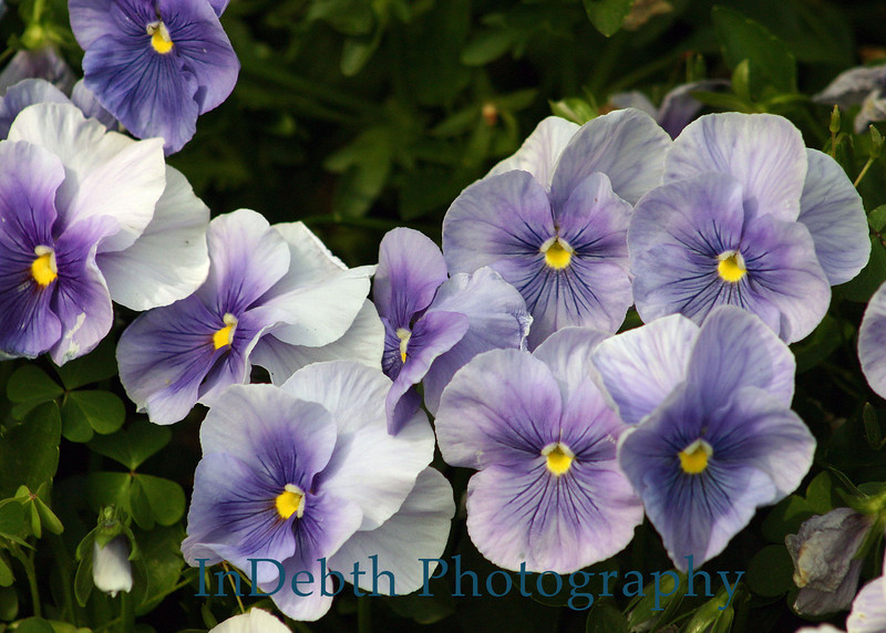 7308 - Atlanta Pansy Flowers