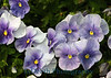 7308 - Atlanta Pansy Flowers