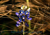 5680 - Blue Bonnet Wild Flower