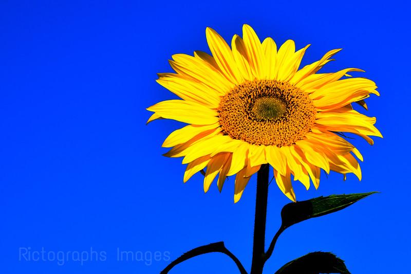 Blue Sky, Sunflower, 2020