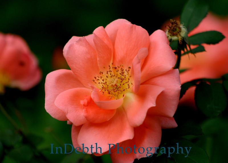 0420 - Rose Flower