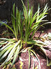 monkey grass from memphis - transplanted in Jersey