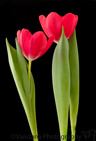 Feb 27, 2011 - Tulips in a light tent