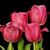 Tulips.<br /> Sydney, Australia.