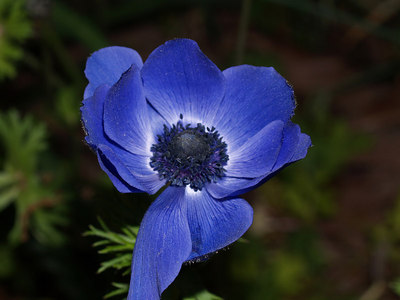 "A ""Whole View"" of the Blue Anemone. Quite ugly, isn't it? That's why I cropped it."