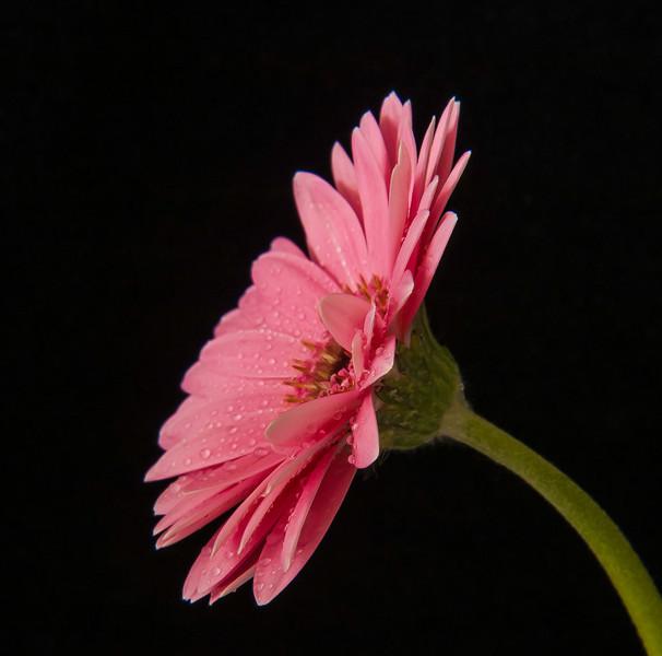 """<font color=""""#e9efb7"""">Bright Pink Gerbera"""
