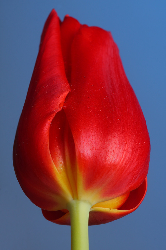 IMG4_36486 Tulip flower R77blue DPP