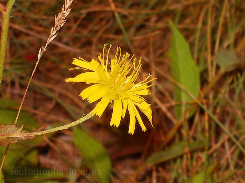 Yellow Wildflower Inflorescence