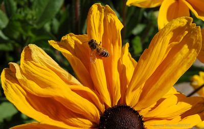 Bee Susan