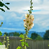 Hollyhocks at Ft. Vancouver, WA - 204